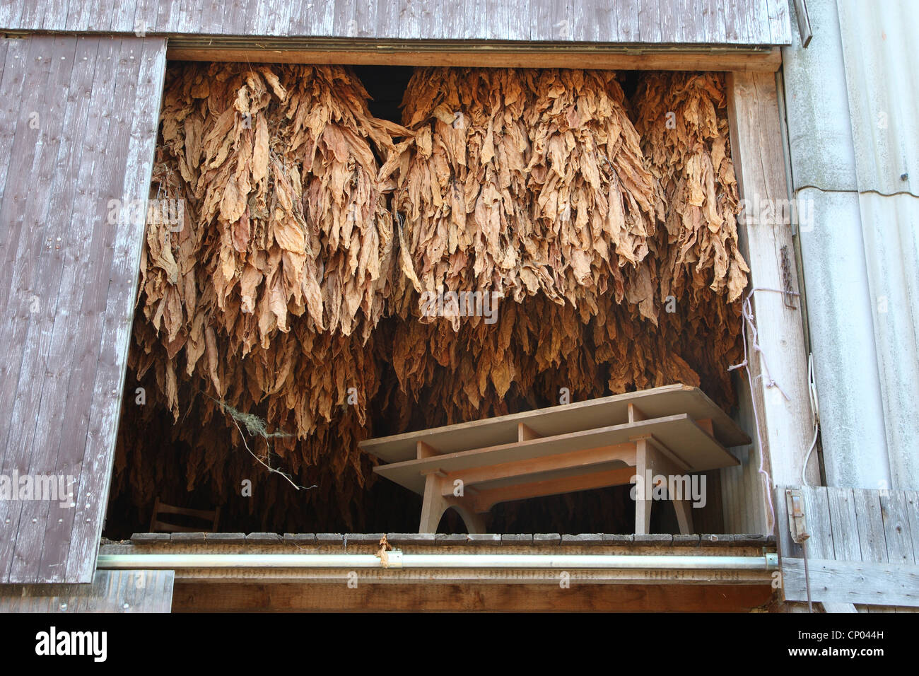 Cultivated Tobacco, Common Tobacco, Tobacco (Nicotiana tabacum), Tobacco leaves hung up for drying, Germany - Stock Image