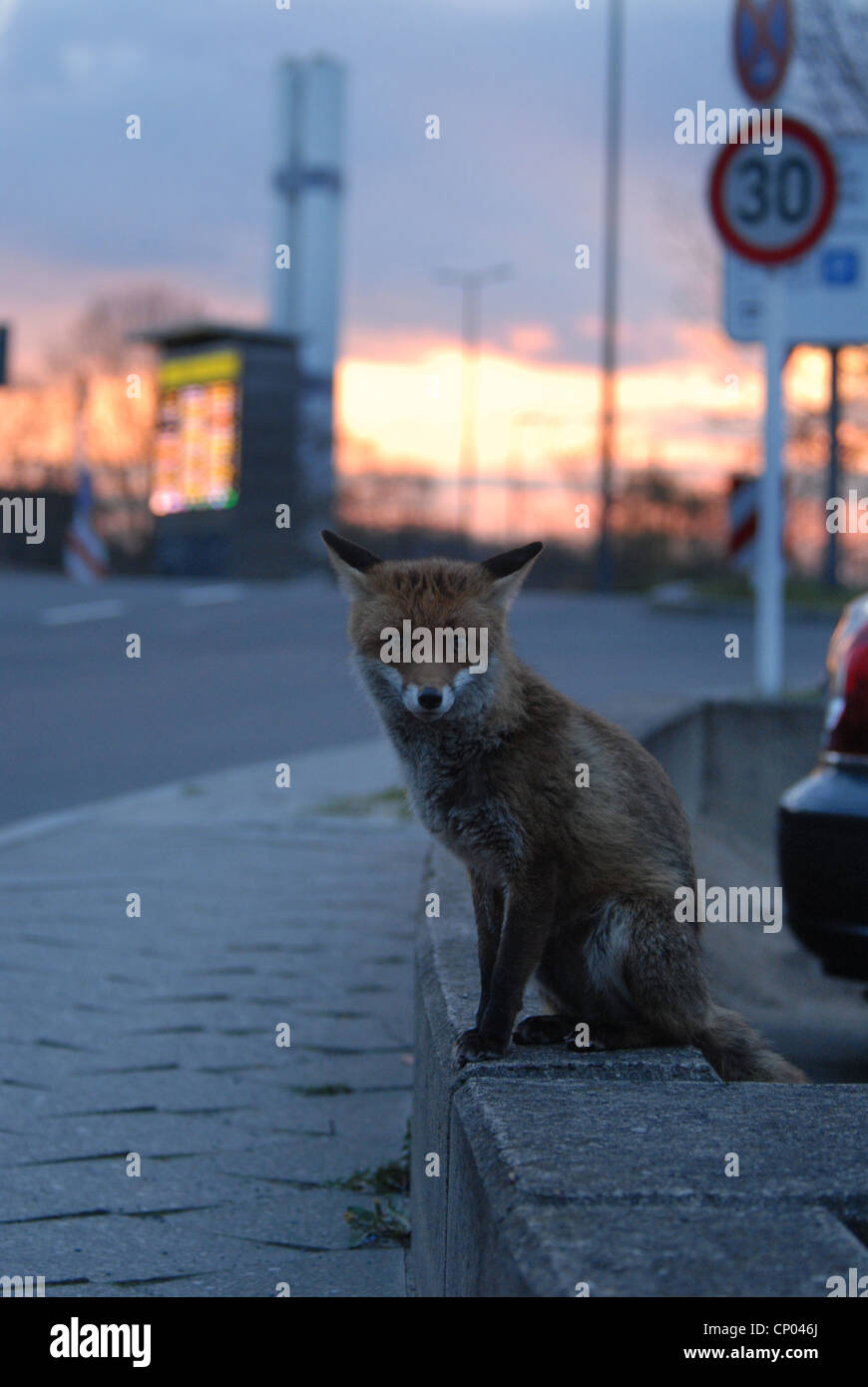 red fox (Vulpes vulpes), sitting roadsides in twilight, Germany, - Stock Image