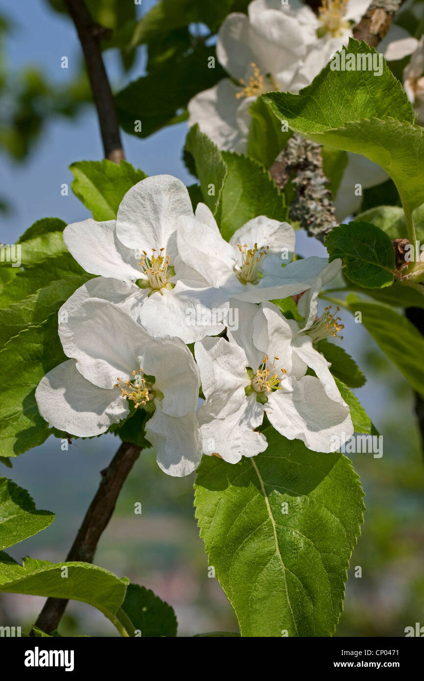 apple tree (Malus domestica), blooming twig, Germany - Stock Image