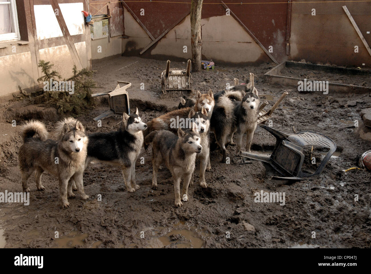 domestic dog (Canis lupus f. familiaris), scruffy dogs on dirty site, animal hoarding, Germany, - Stock Image