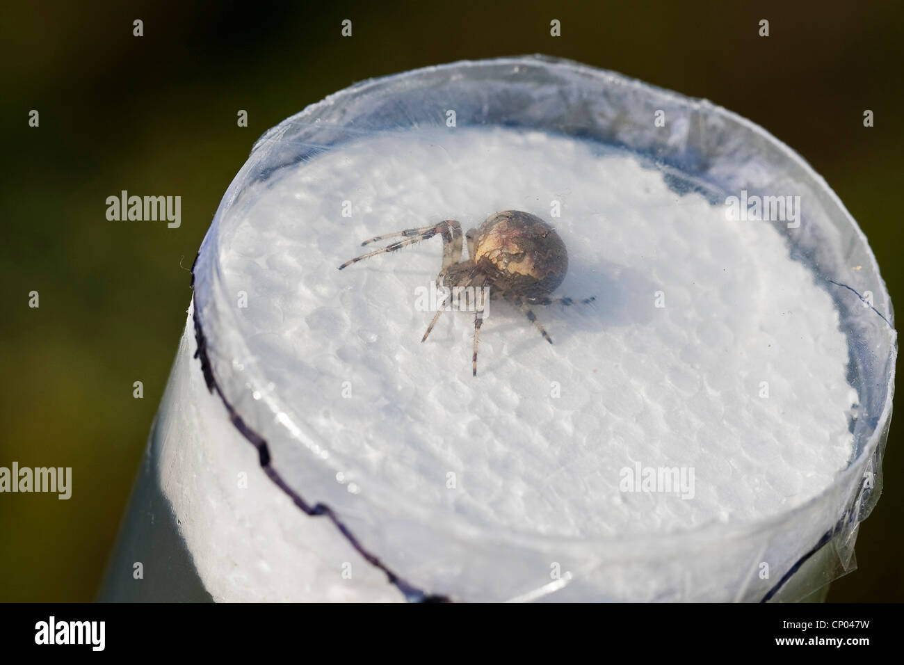 spider in an observation jar, Germany - Stock Image