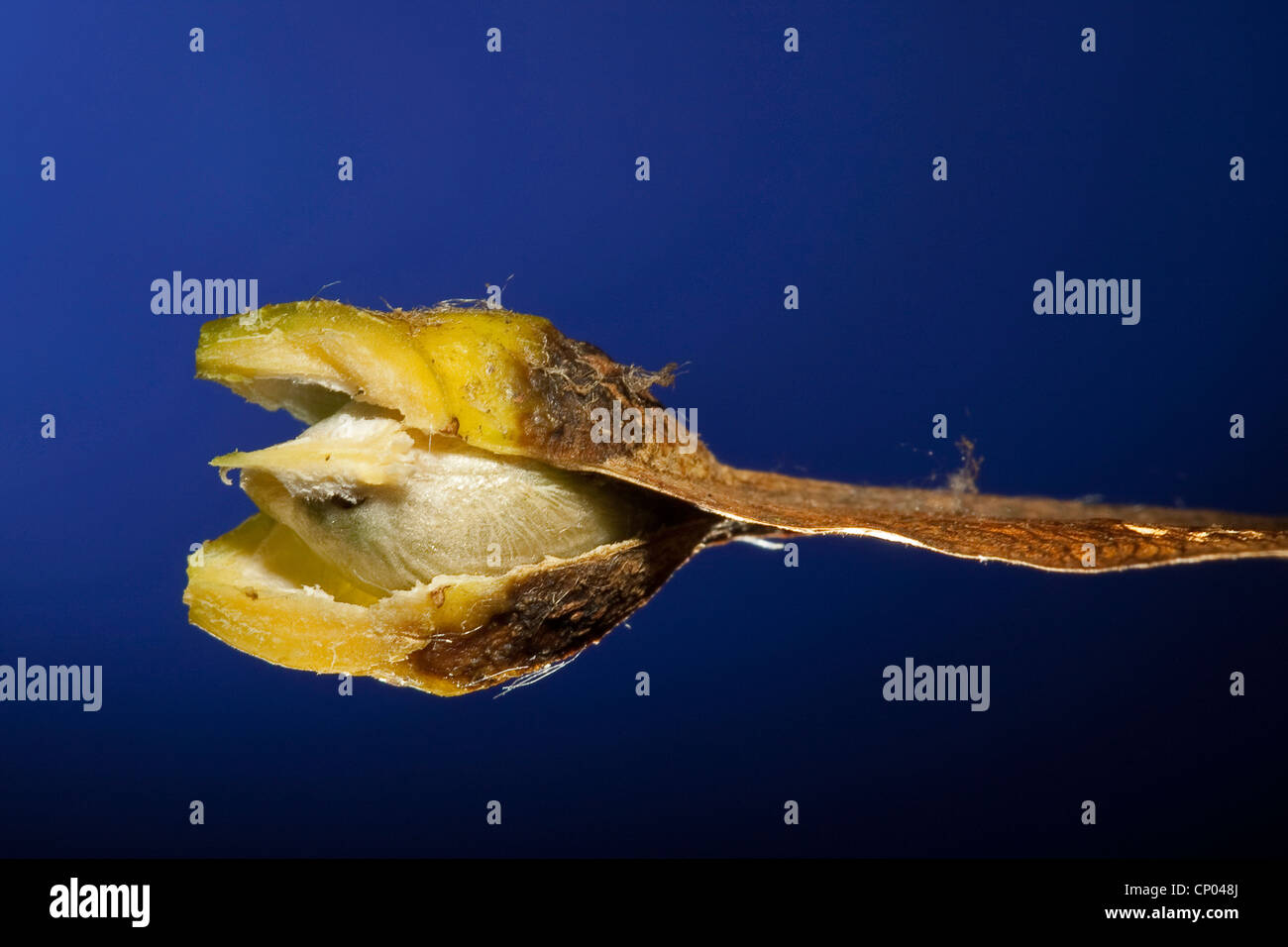 sycamore maple, great maple (Acer pseudoplatanus), fruit of maple tree, opened to have a look on a seed, Germany Stock Photo