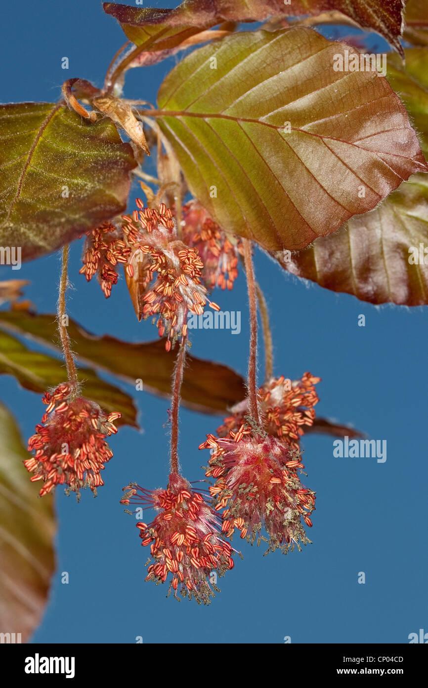 copper beech (Fagus sylvatica var. purpurea, Fagus sylvatica 'Atropunicea', Fagus sylvatica Atropunicea), - Stock Image