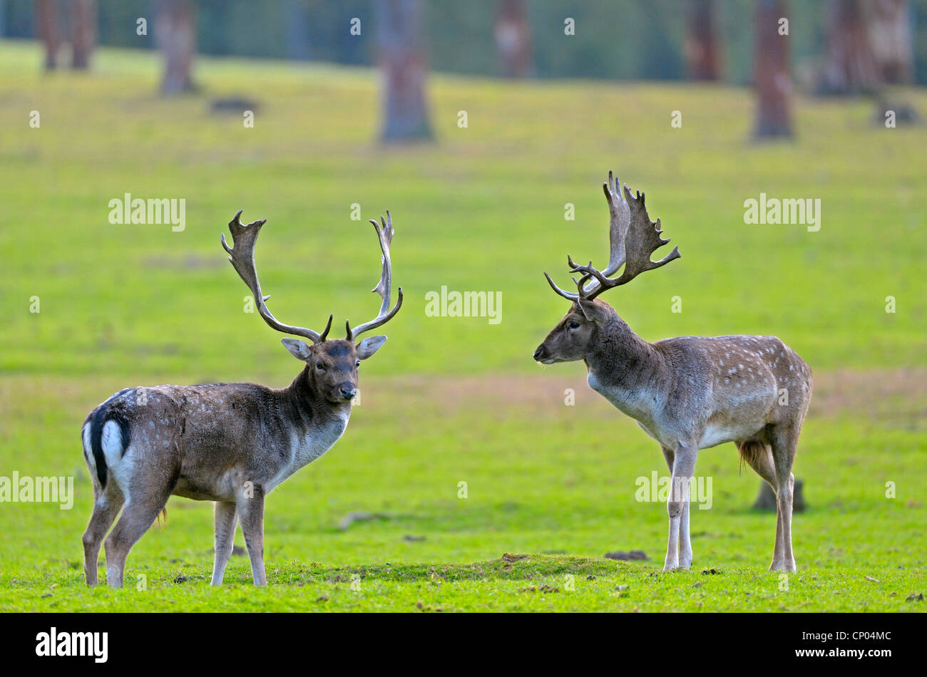 fallow deer (Dama dama, Cervus dama), fighting stags at rutting time, Germany, North Rhine-Westphalia - Stock Image