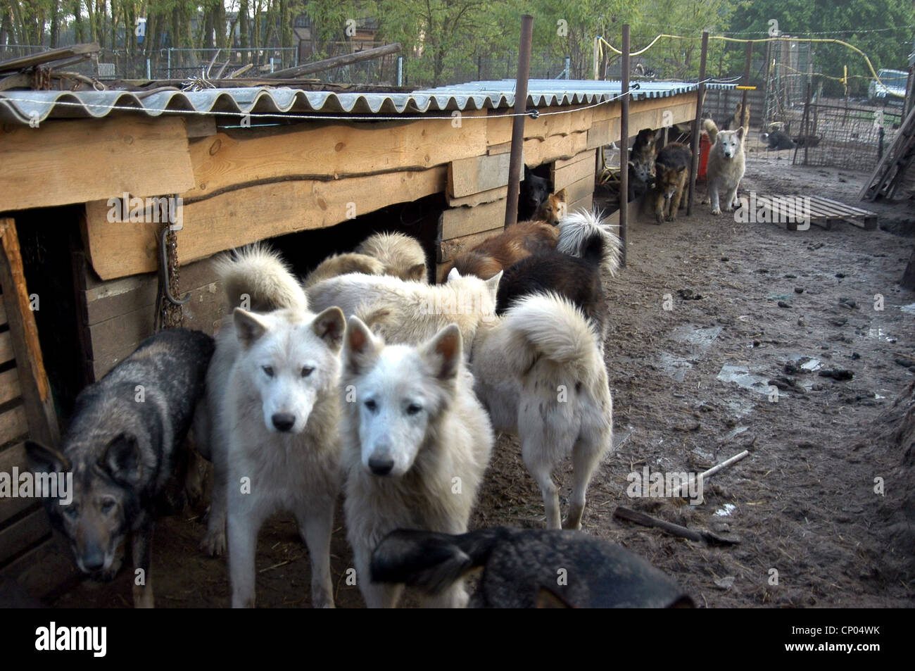 domestic dog (Canis lupus f. familiaris), scruffy dogs in a muddy kennel, animal hoarding, Germany, - Stock Image