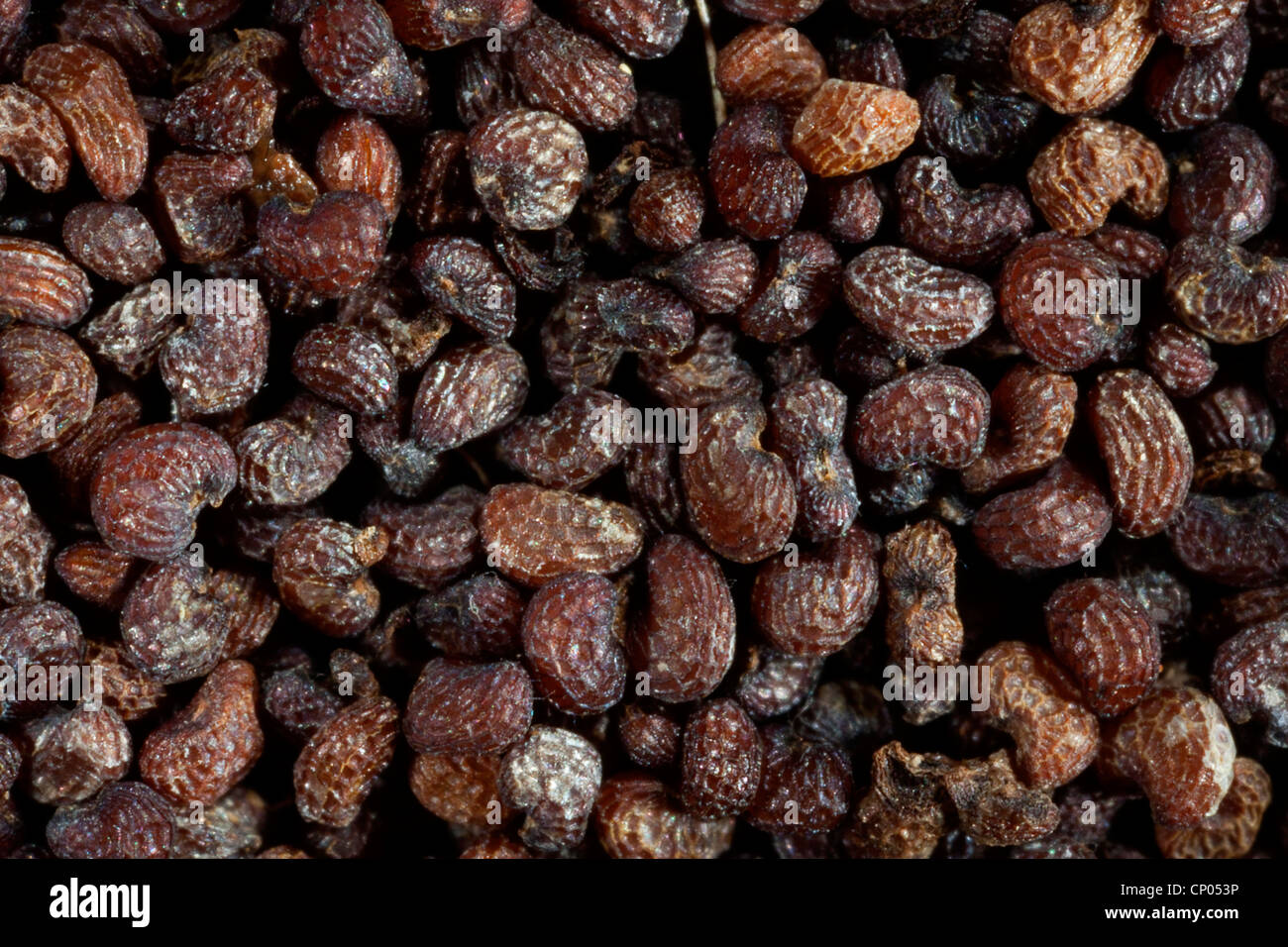 poppy (Papaver spec.), seeds of a poppy - Stock Image