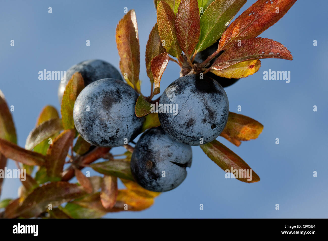 blackthorn, sloe (Prunus spinosa), blackthorn fruits on a branch, Germany - Stock Image