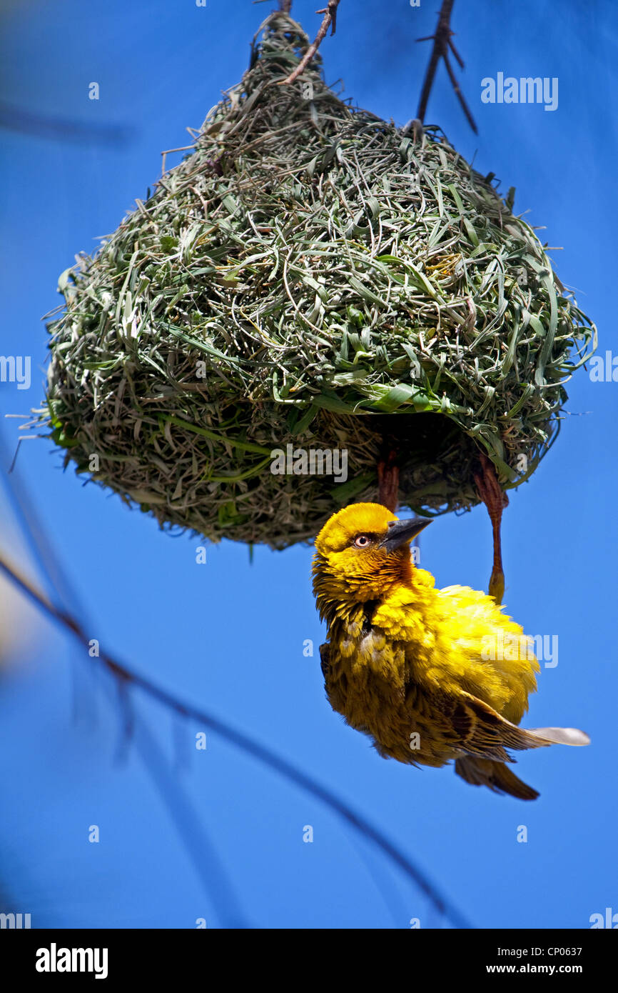 yellow weaver bird at its nest, South Africa, Western Cape, Namaqualand, Bitterfontein Stock Photo