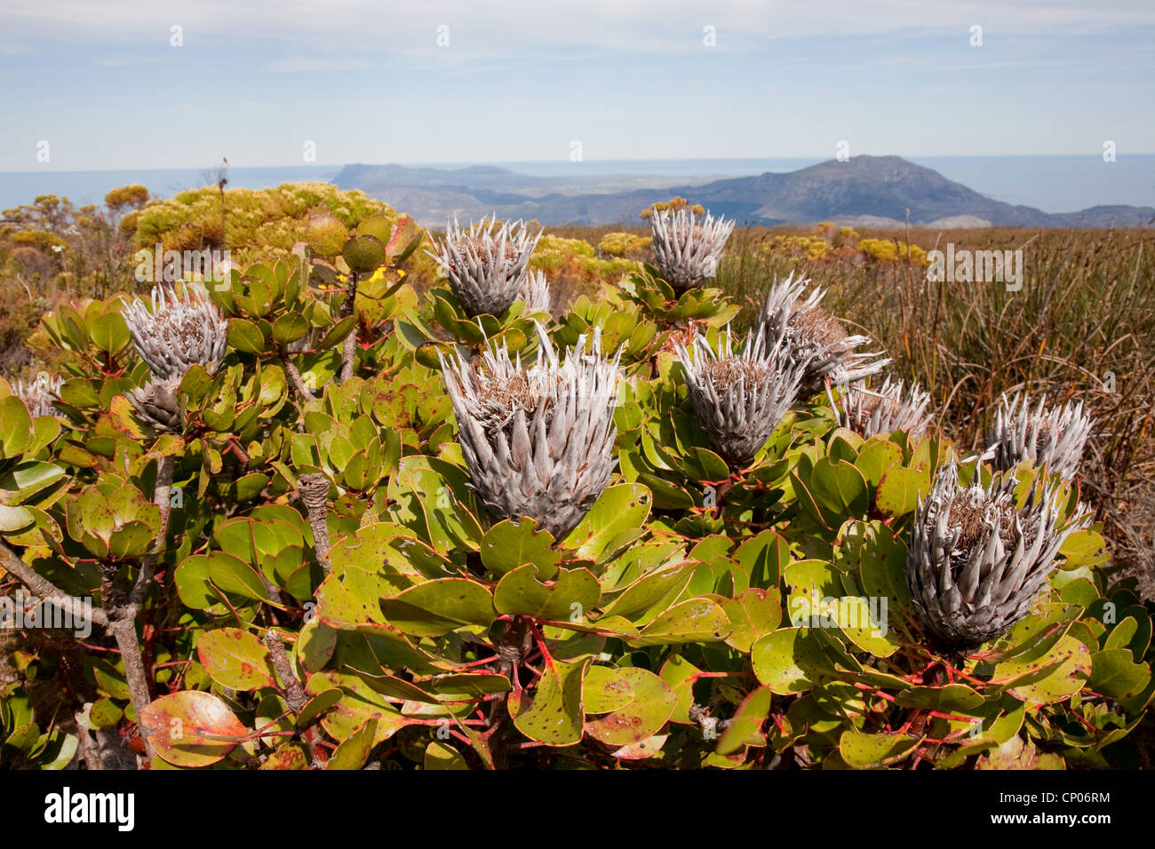 sugar bush (Protea spec.), witheres sugar bush, South Africa, Western Cape, Tafelberg - Stock Image
