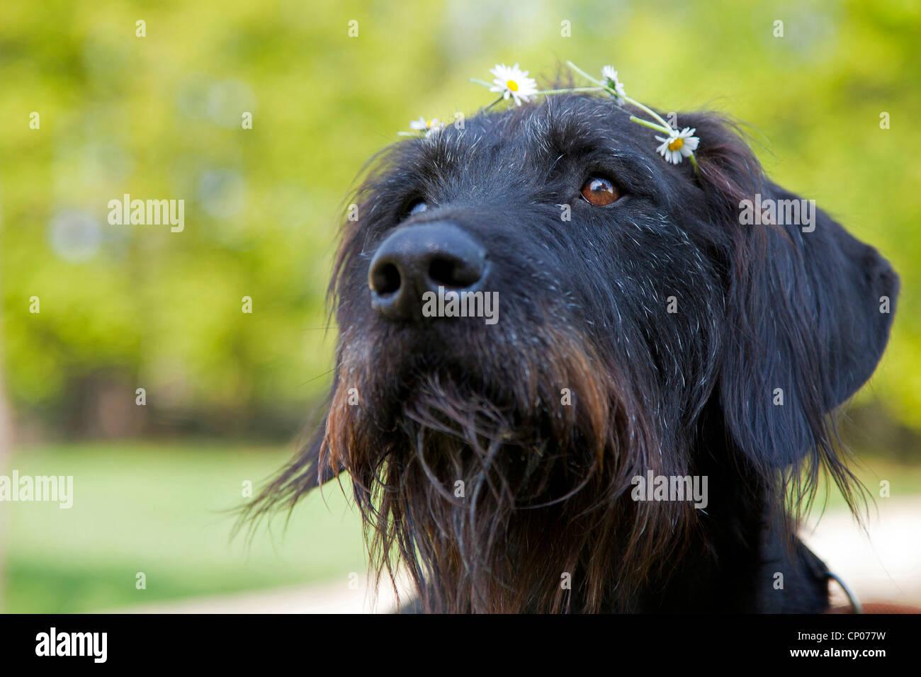 Giant Schnauzer (Canis lupus f. familiaris), portrait of giant schnauzer mongrel with flower garland, Germany Stock Photo