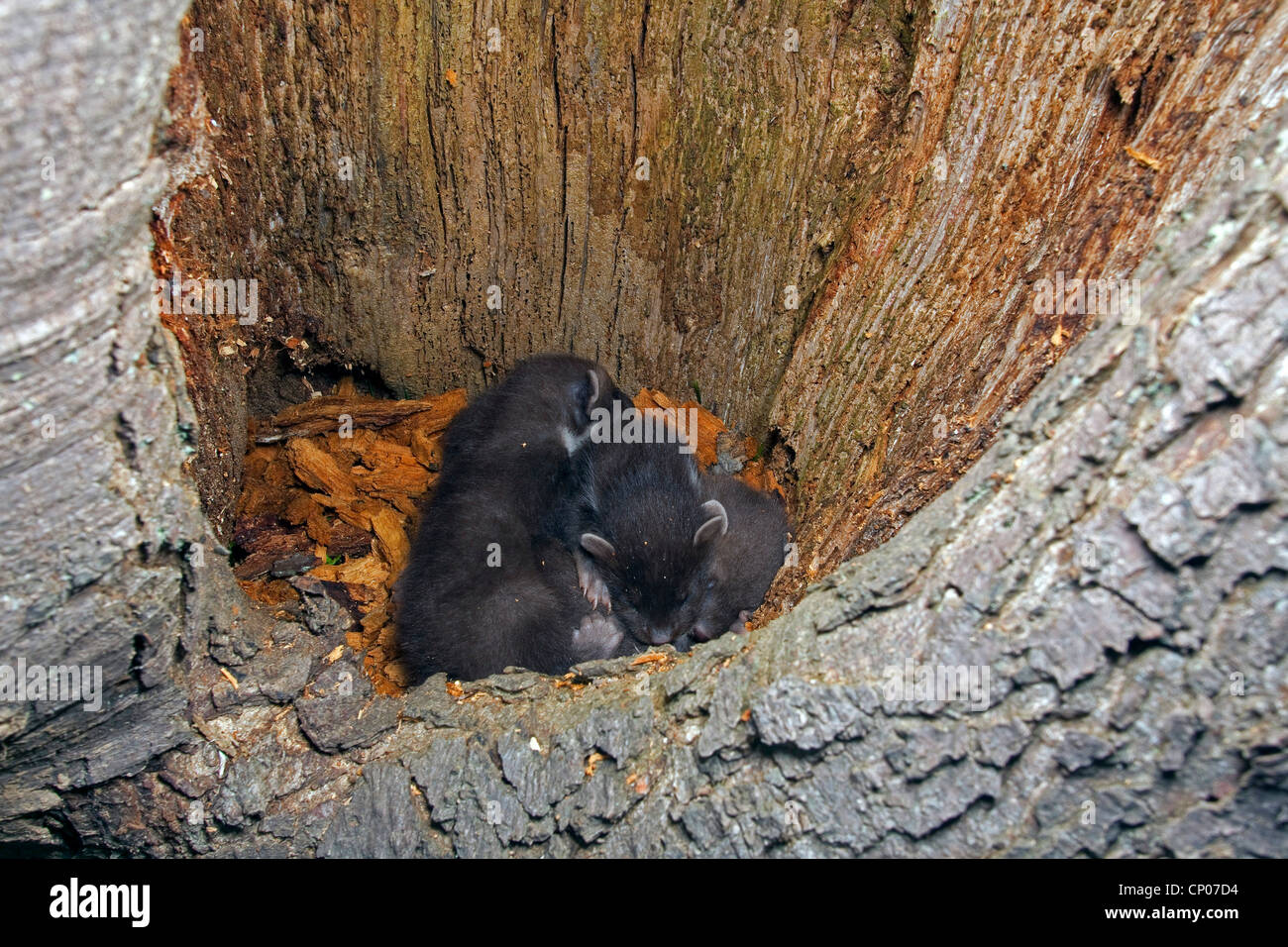 European pine marten (Martes martes), juveniles lying in tree hole, Germany - Stock Image