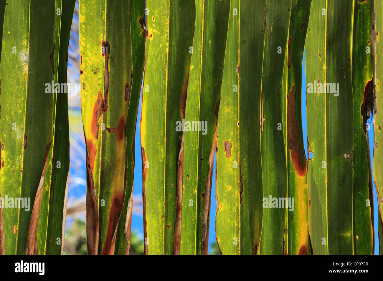 Colorful closeup detail of palm frond - Stock Image