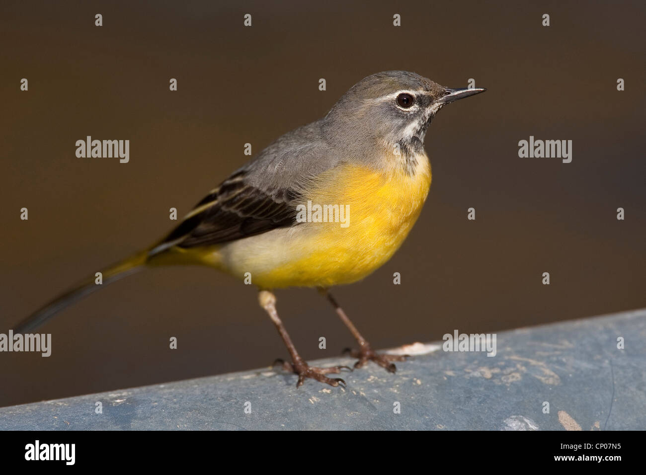 grey wagtail (Motacilla cinerea), sitting on a wall, Germany - Stock Image