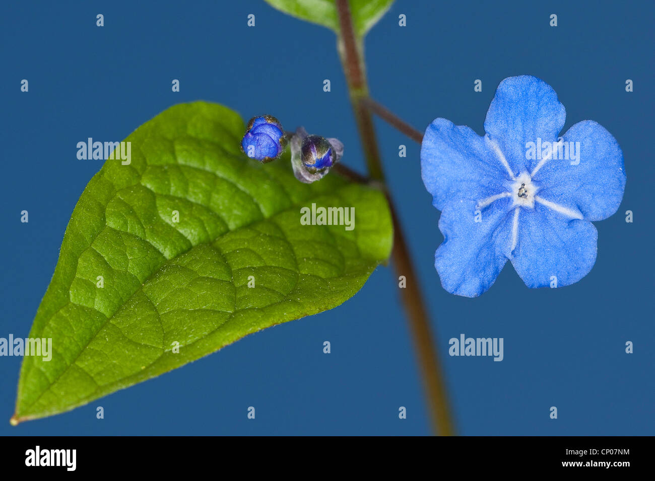 Navelwort, Blue-eyed Mary (Omphalodes verna), blooming - Stock Image