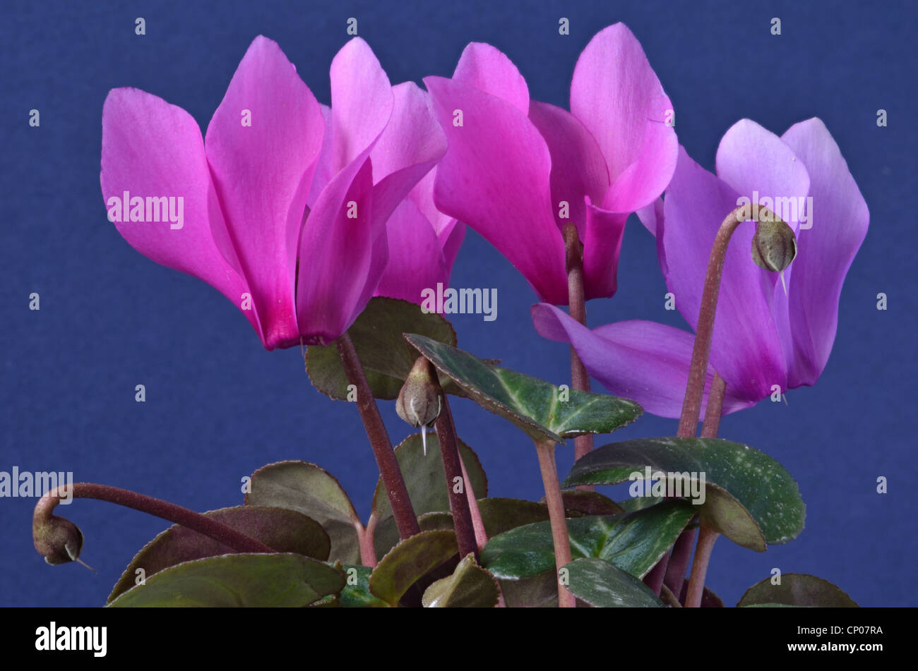 Close-up of pot-grown indoor Cyclamen plant with magenta coloured flowers. - Stock Image