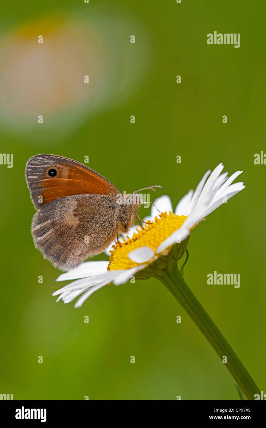 small heath (Coenonympha pamphilus), sitting on a daisy, Germany, Rhineland-Palatinate - Stock Image