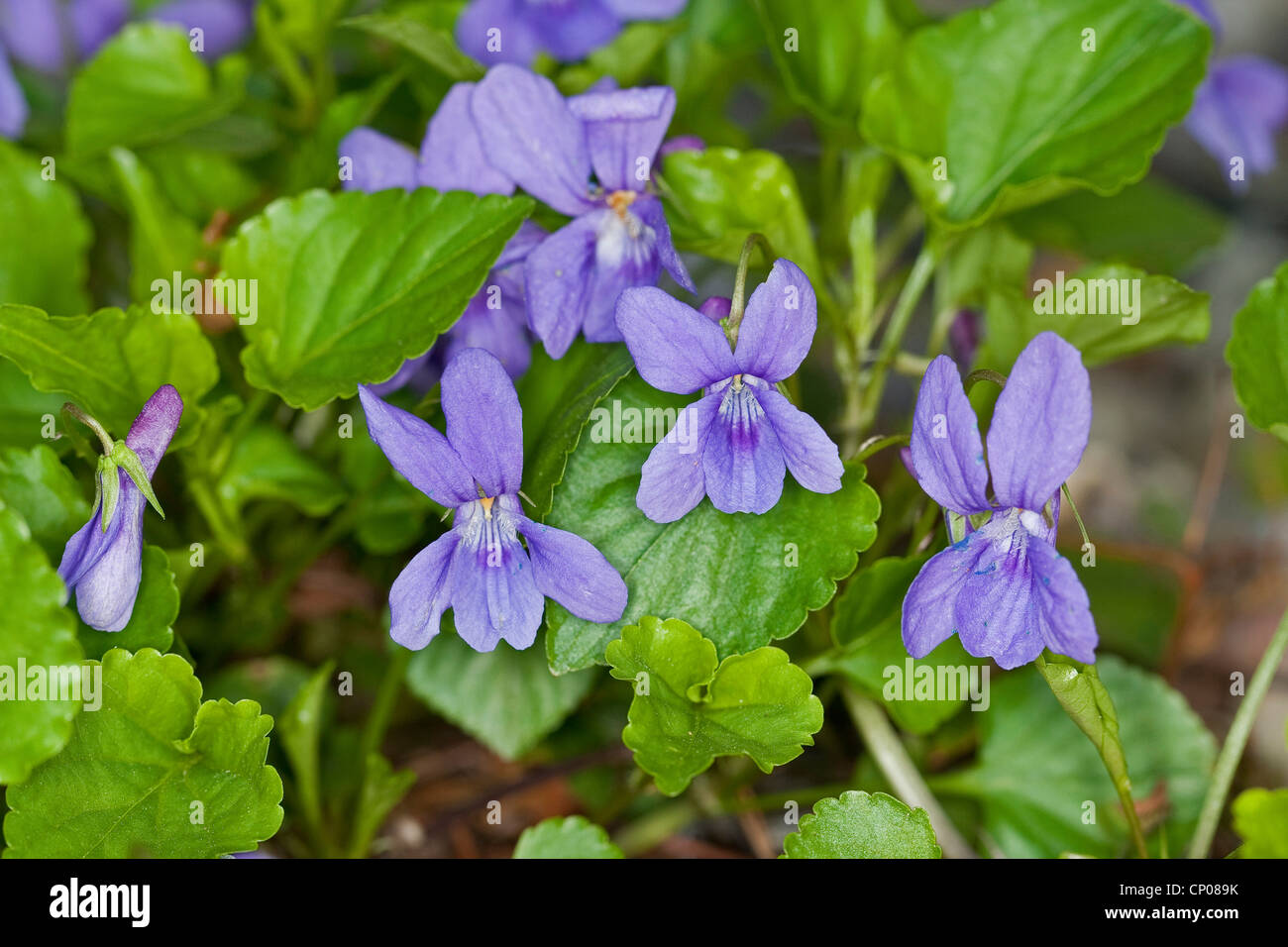 early dog-violet (Viola reichenbachiana), blooming, Germany - Stock Image