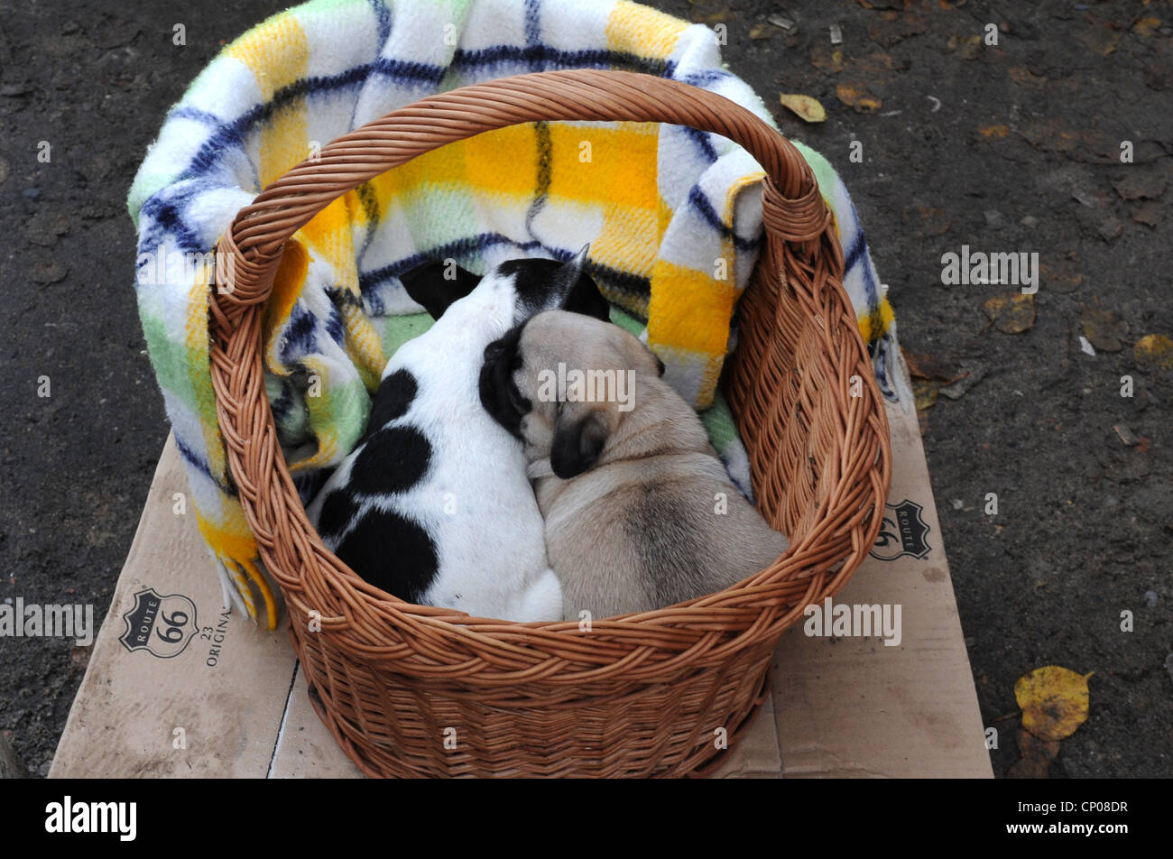 domestic dog (Canis lupus f. familiaris), trade in puppies at polish market,  , - Stock Image