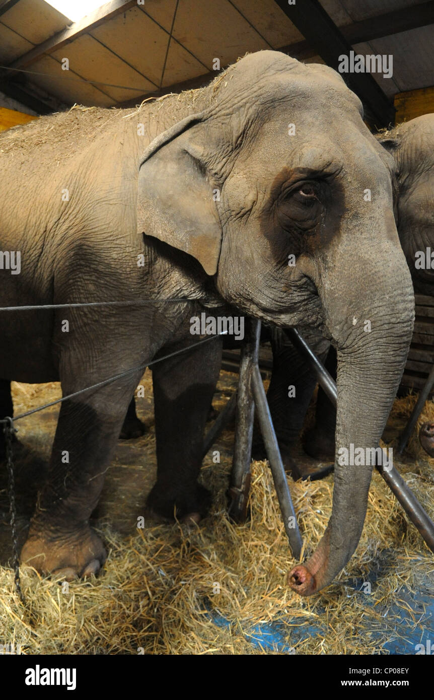 Indian elephant (Elephas maximus indicus, Elephas maximus bengalensis), in a tight stable,  , - Stock Image