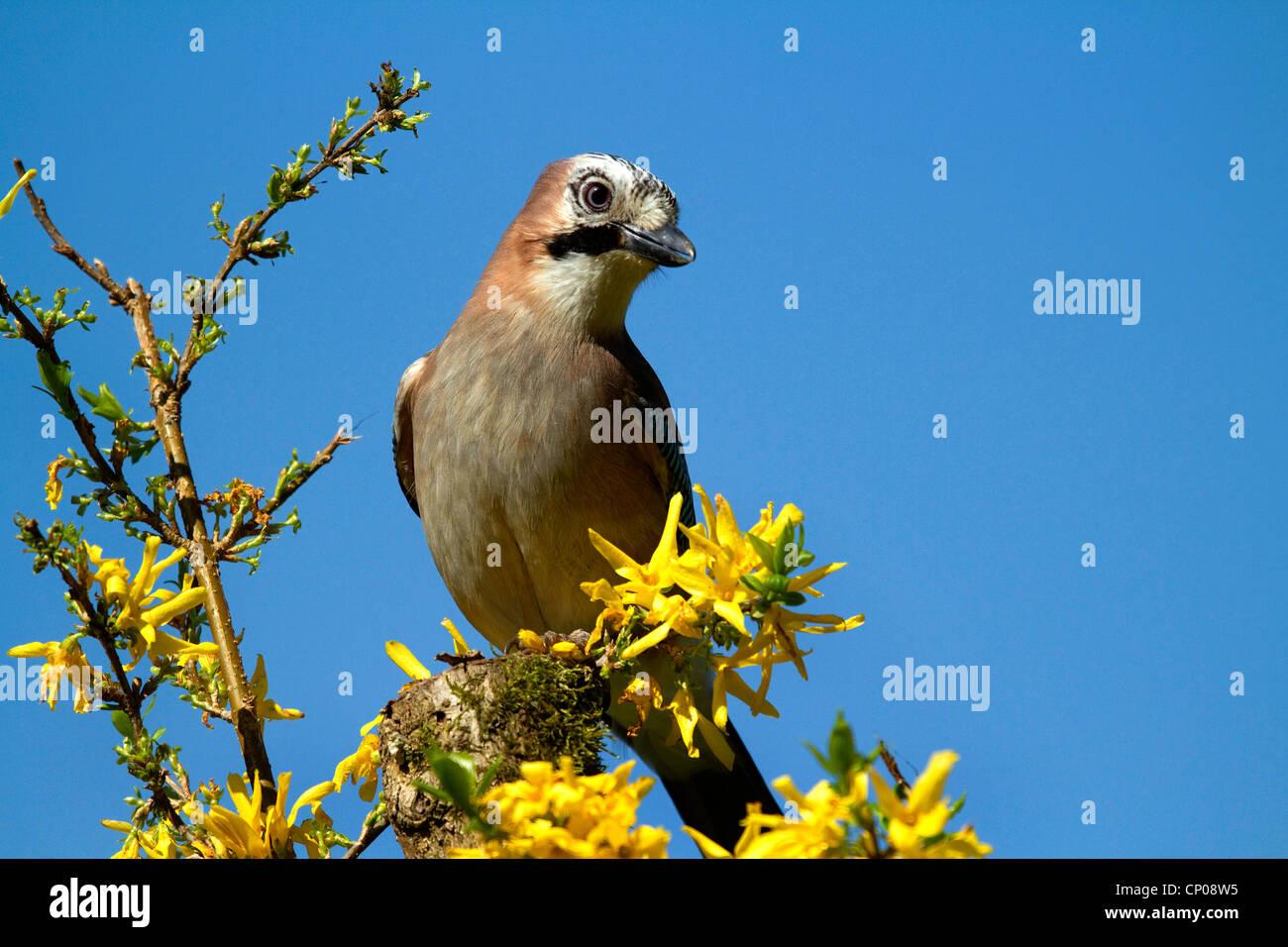jay (Garrulus glandarius), sitting on a branch of Forsythia, Germany Stock Photo