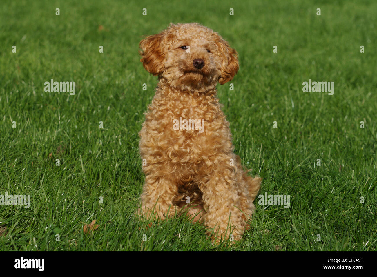 Miniature Poodle (Canis lupus f. familiaris), ten month old apricot-coloured toy poodle sitting in meadow - Stock Image