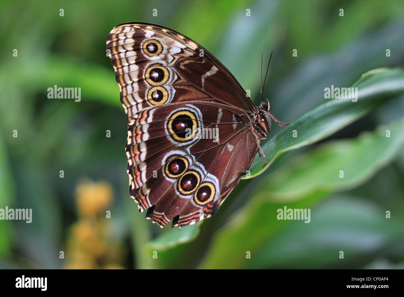 A Peleides Blue Morpho Butterfly (Morpho peleides). It's found in the rainforests of South America, Central America Stock Photo