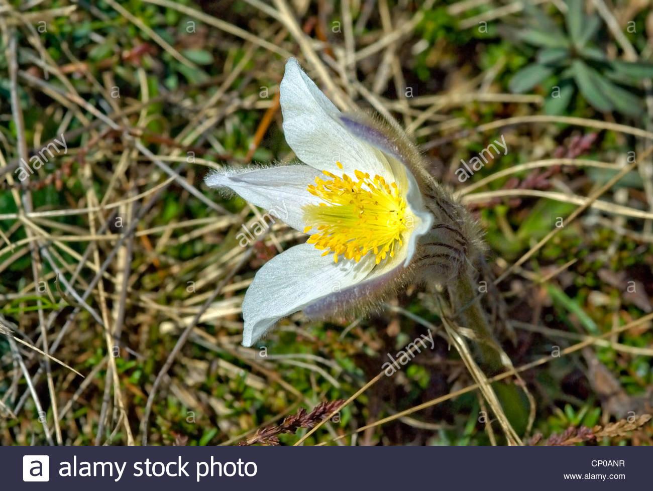 Pulsatilla Vernalis Closeup, Spring Pasque flower - Stock Image