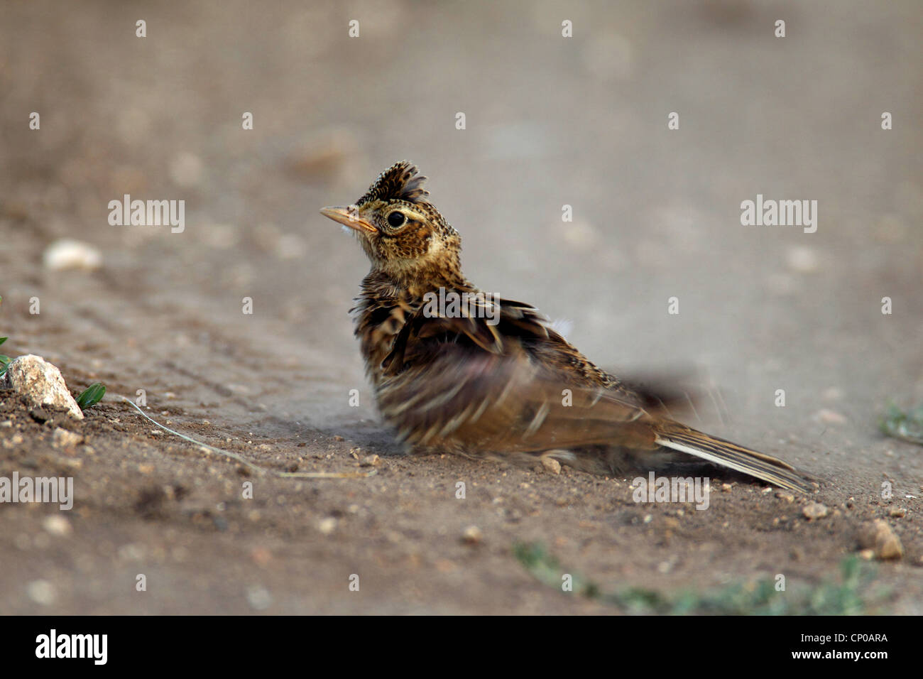 Eurasian sky lark (Alauda arvensis), dust bathing squeaker, Bulgaria - Stock Image