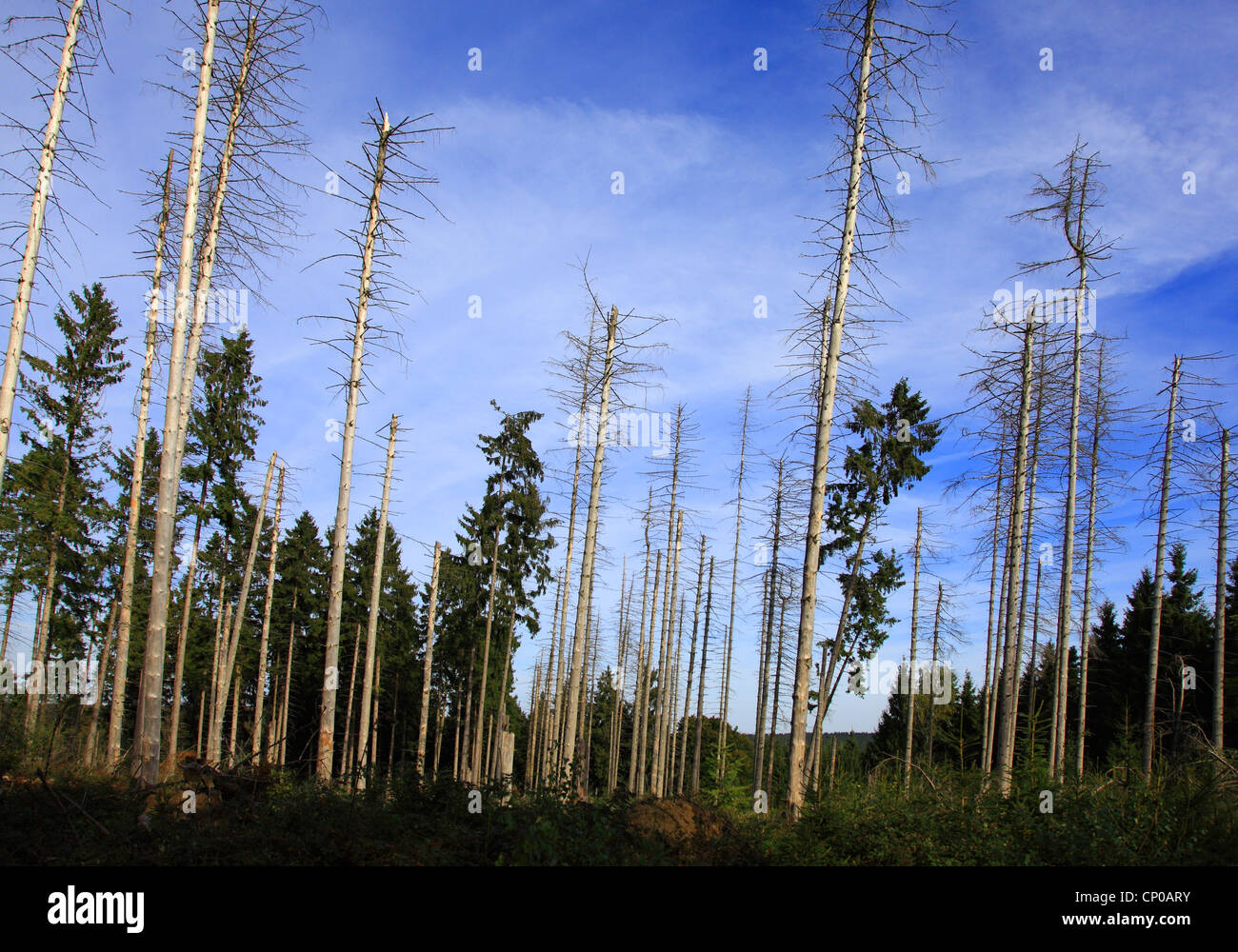 Norway spruce (Picea abies), storm losses in a spruce forest after Kyrill 2007, Germany, Eifel National Park - Stock Image