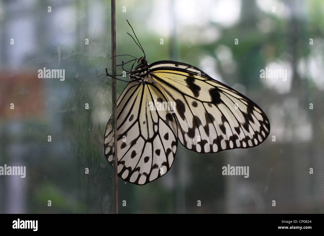 White Tree Nymph Butterfly (idea leuconoe) also known as Paper Kite or Rice Paper lingering on a glass sheet. - Stock Image