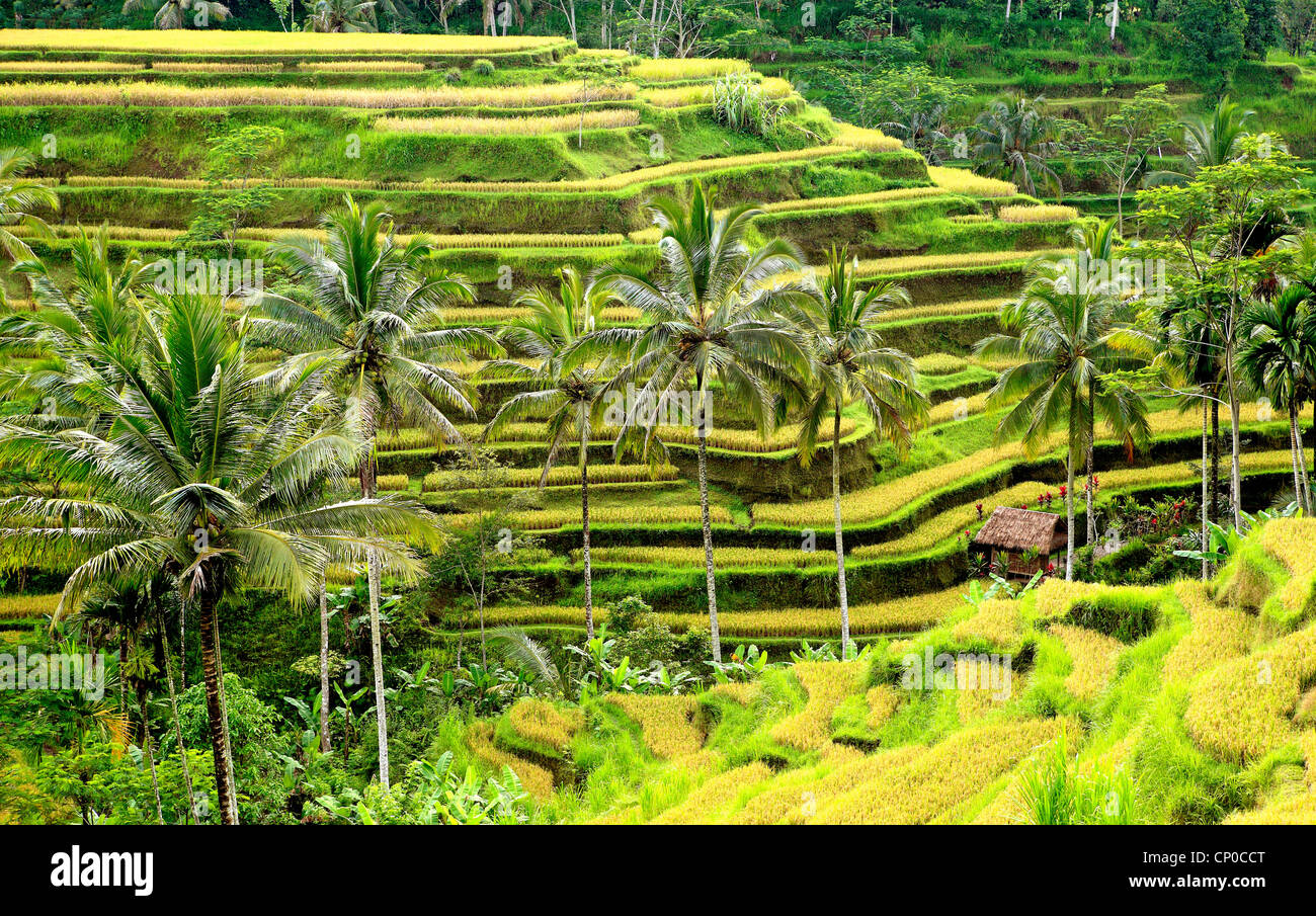 Rice terraces at Tegallalang near Ubud. Bali, Indonesia. The rice is turning golden as it is almost ready to harvest - Stock Image