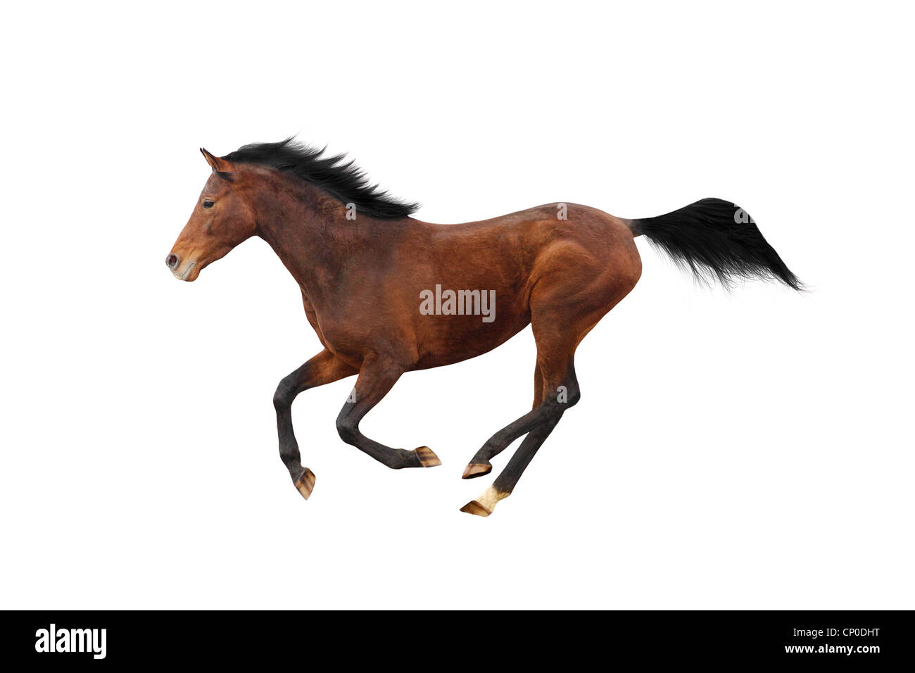 Young Trakehner stallion isolated over white - Stock Image