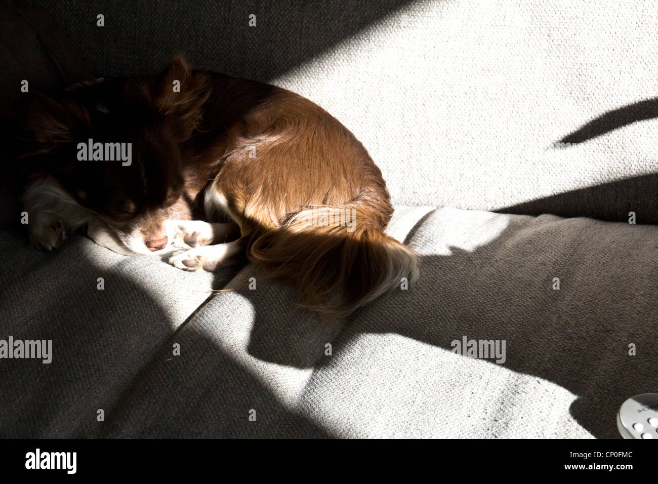 chocolate chihuahua and pincers shadow - Stock Image