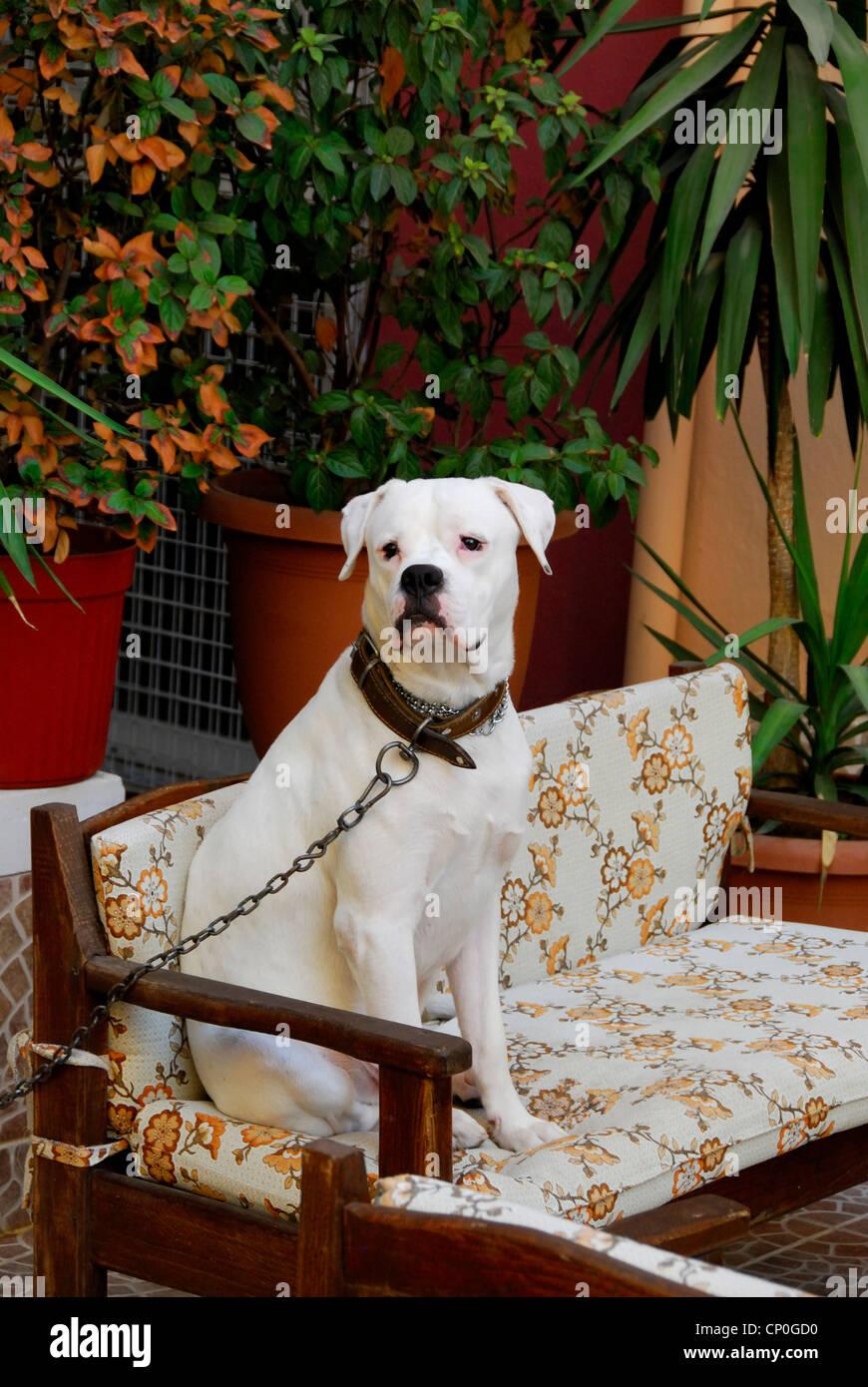 A white boxer dog..sitting comfortably. - Stock Image
