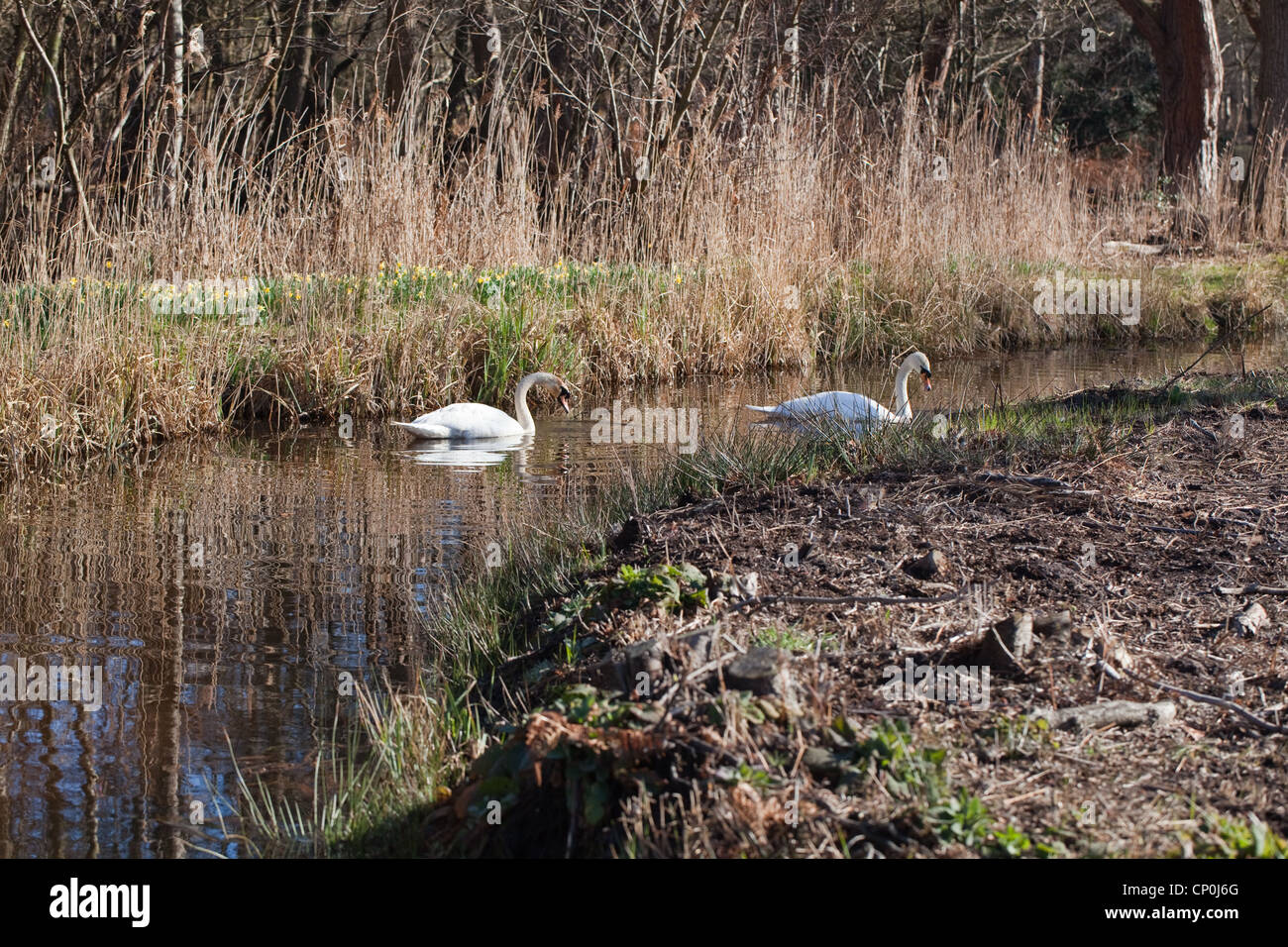 Mute Swans (Cygnus olor). Bonded pair exploring a drainage dyke, Norfolk Broads. Spring time. Wild daffodils in - Stock Image