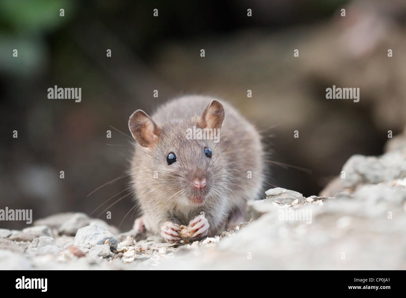 Brown Rat Feeding - Stock Image