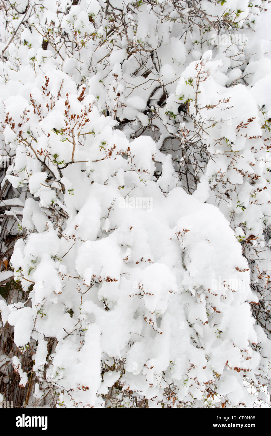 Piles of snow cover the twigs and branches of a lilac bush (Syringa vulgaris) in winter, Livingston, Montana, USA - Stock Image