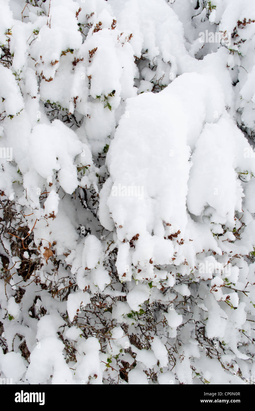 Piles of snow cover the twigs and branches of a lilac (Syringa vulgaris) bush in winter, Livingston, Montana, USA - Stock Image