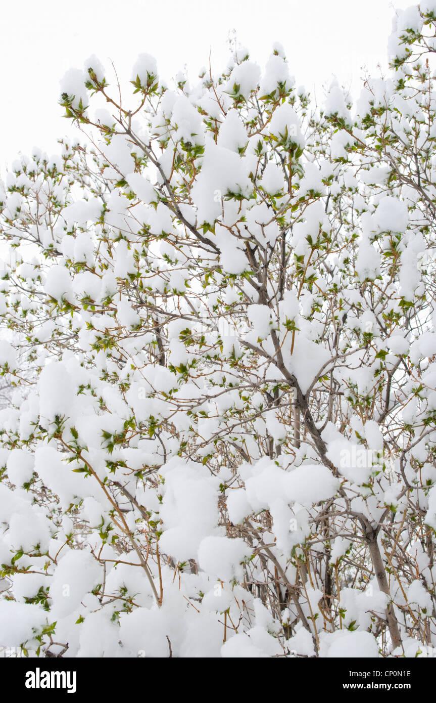 Snow covers the green leaves of a lilac bush (Syringa vulgaris), winter in Livingston, Montana, USA - Stock Image