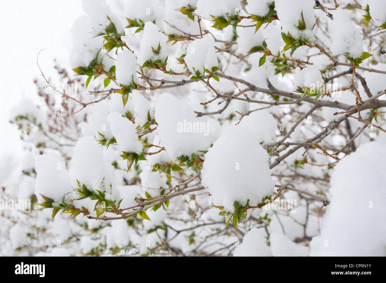 Snow covers the green leaves of a lilac bush (Syringa vulgaris), from a snowstorm, winter in Livingston, Montana, - Stock Image