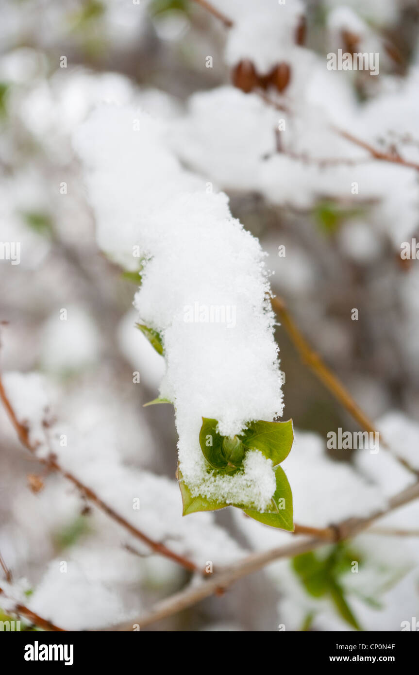 Detail of snow covered green leaves of a lilac bush (Syringa vulgaris) in winter, Livingston, Montana, USA - Stock Image