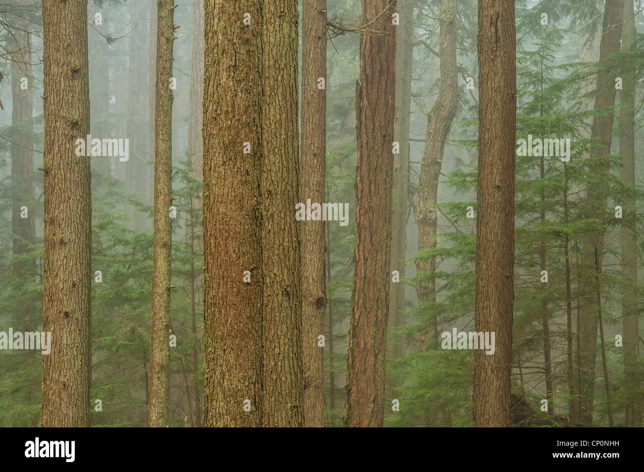 Fog and trees in forest, Mount Constitution, Moran State Park, Orcas Island, Washington. Stock Photo