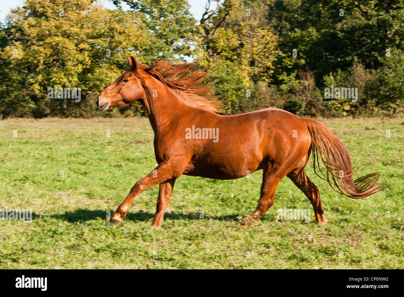 Chestnut Thoroughbred Horse Galloping In A Field On A Sunny