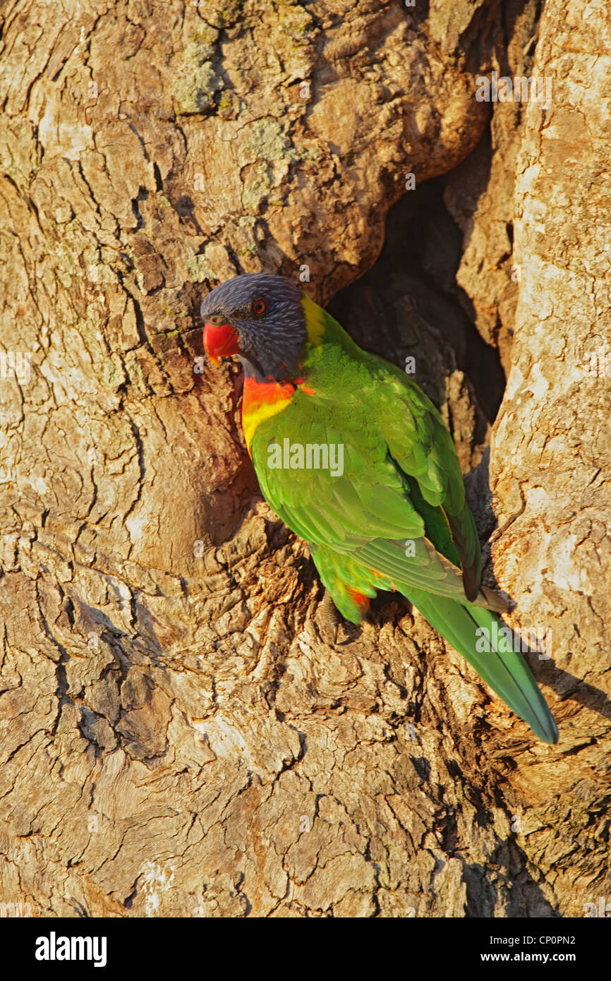 Rainbow Lorikeet (Trichoglossus haematodus) sitting at his nesting hole in a tree trunk on Bribie Island, Queensland, Stock Photo