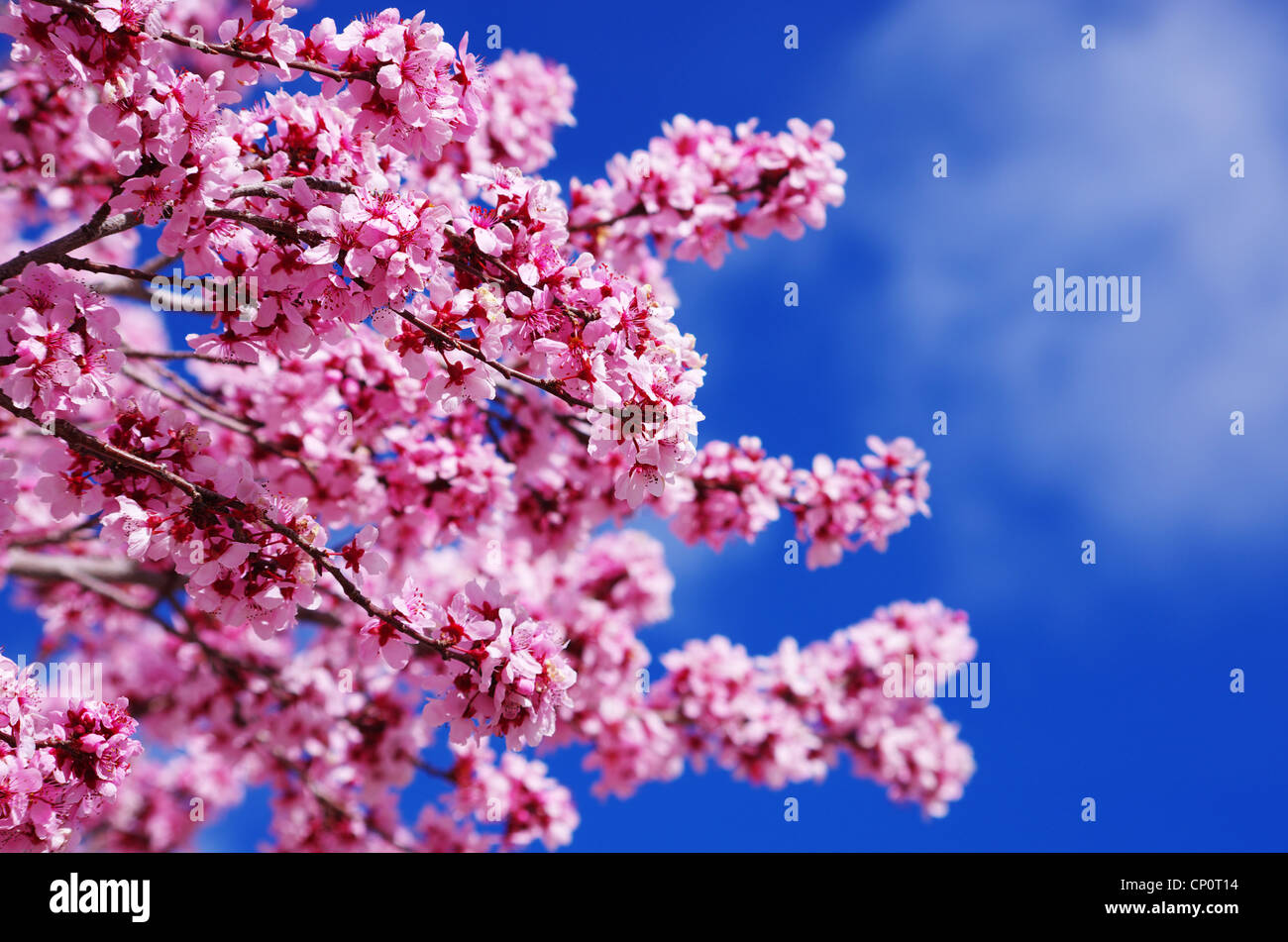 pink cherry blossoms with shallow depth of field and sky background Stock Photo