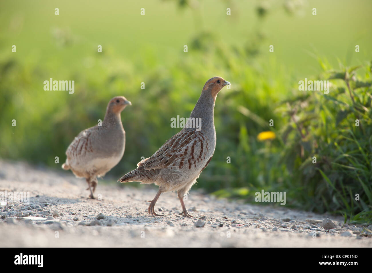 Grey partridges male and female gravel road Holland Europe - Stock Image