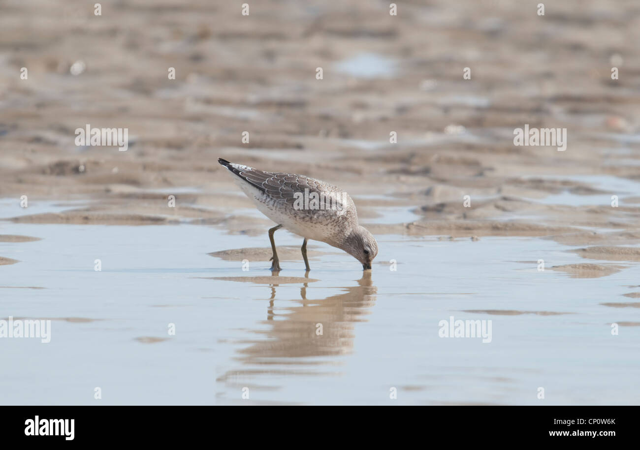 Knot feeding on sand at low tide, Rye Harbour, Sussex, UK - Stock Image