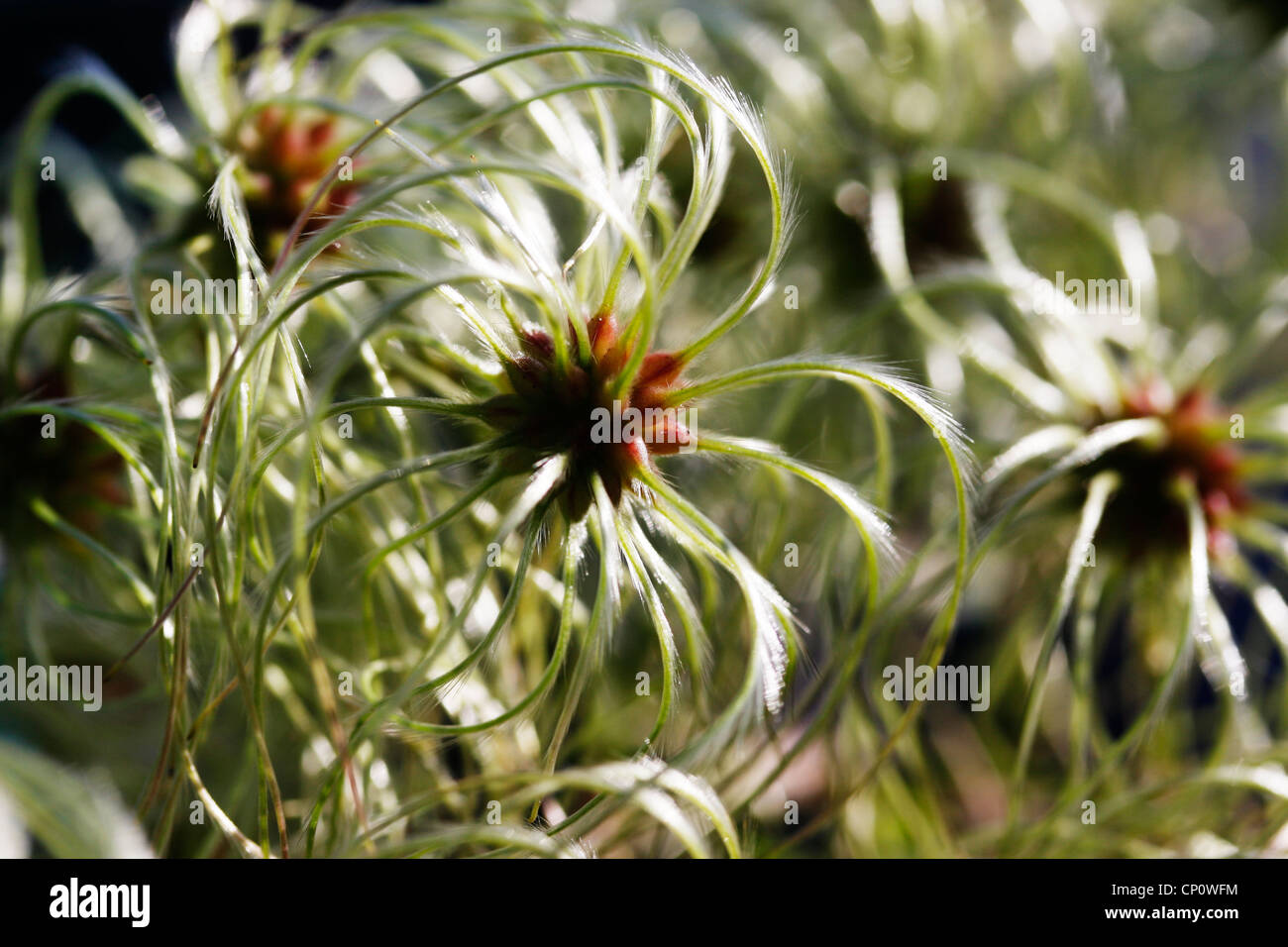 Seed head of Clematis species. - Stock Image