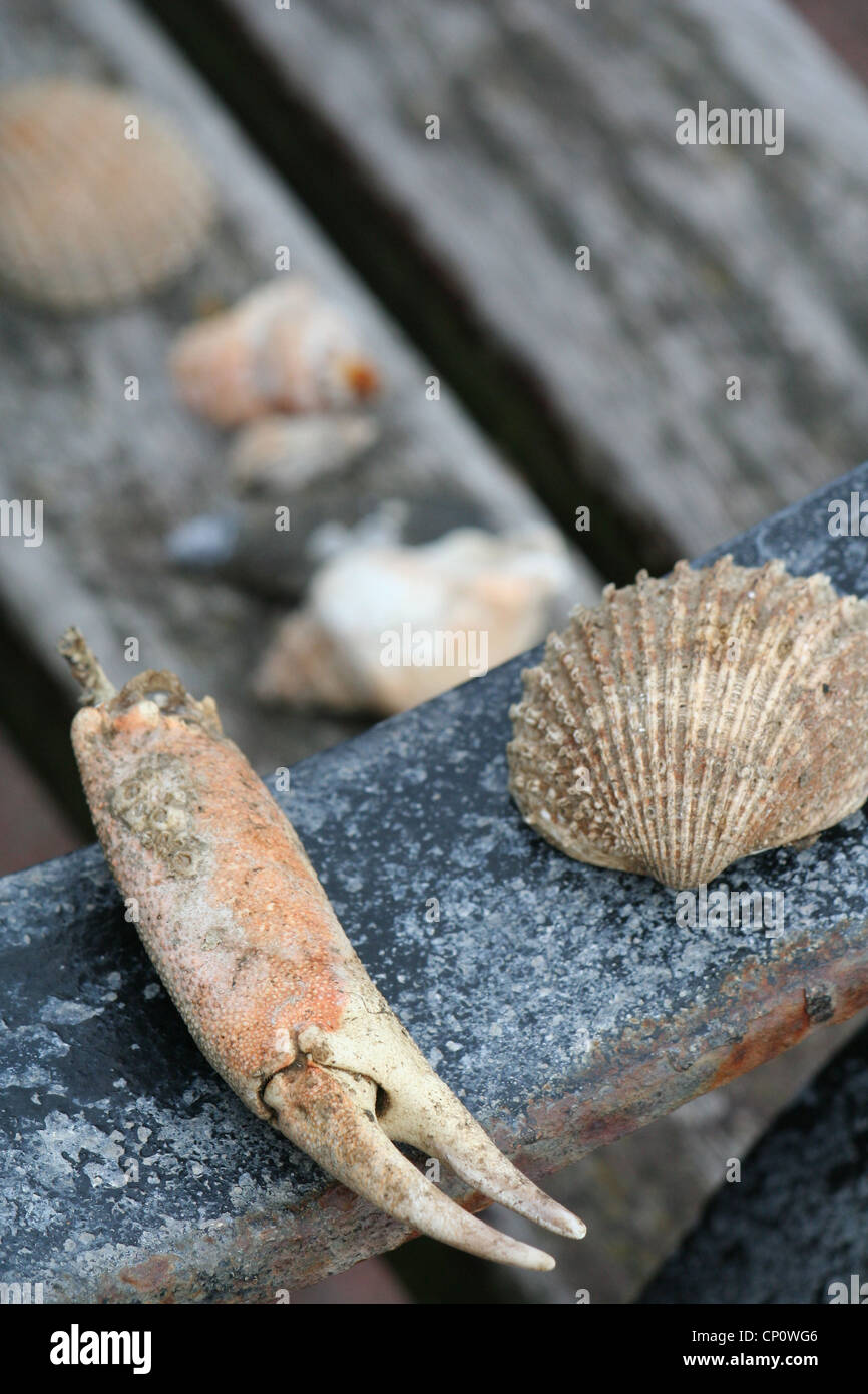 claw and shells - Stock Image