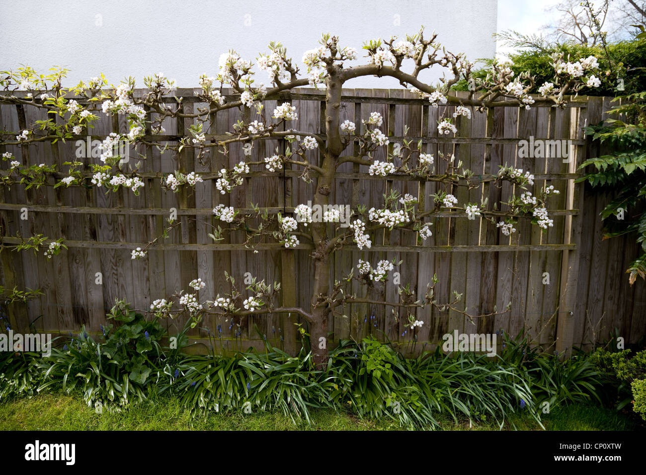 Espalier pear tree against a fence in spring, UK - Stock Image